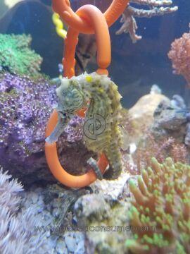 Saltcritters Seahorse Aquarium Fish